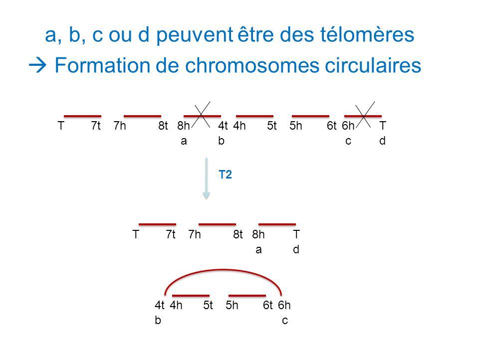 a, b, c ou d peuvent être des télomères  Formation de chromosomes circulaires