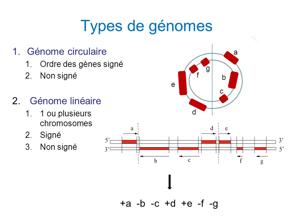Types de génomes Génome circulaire Génome linéaire