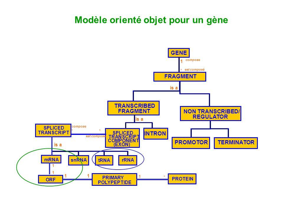 Modèle orienté objet pour un gène