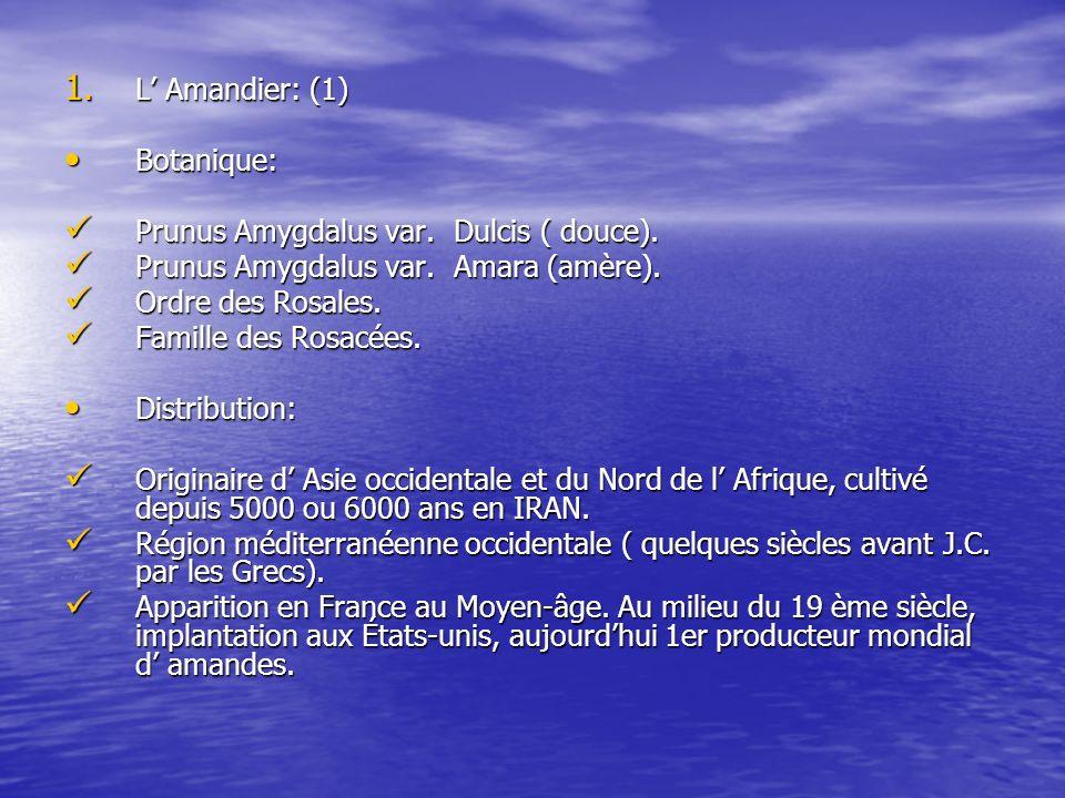 L' Amandier: (1) Botanique: Prunus Amygdalus var. Dulcis ( douce). Prunus Amygdalus var. Amara (amère).
