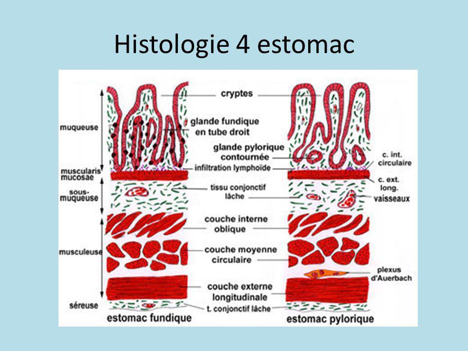 Histologie 4 estomac