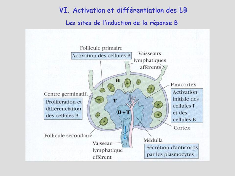 VI. Activation et différentiation des LB