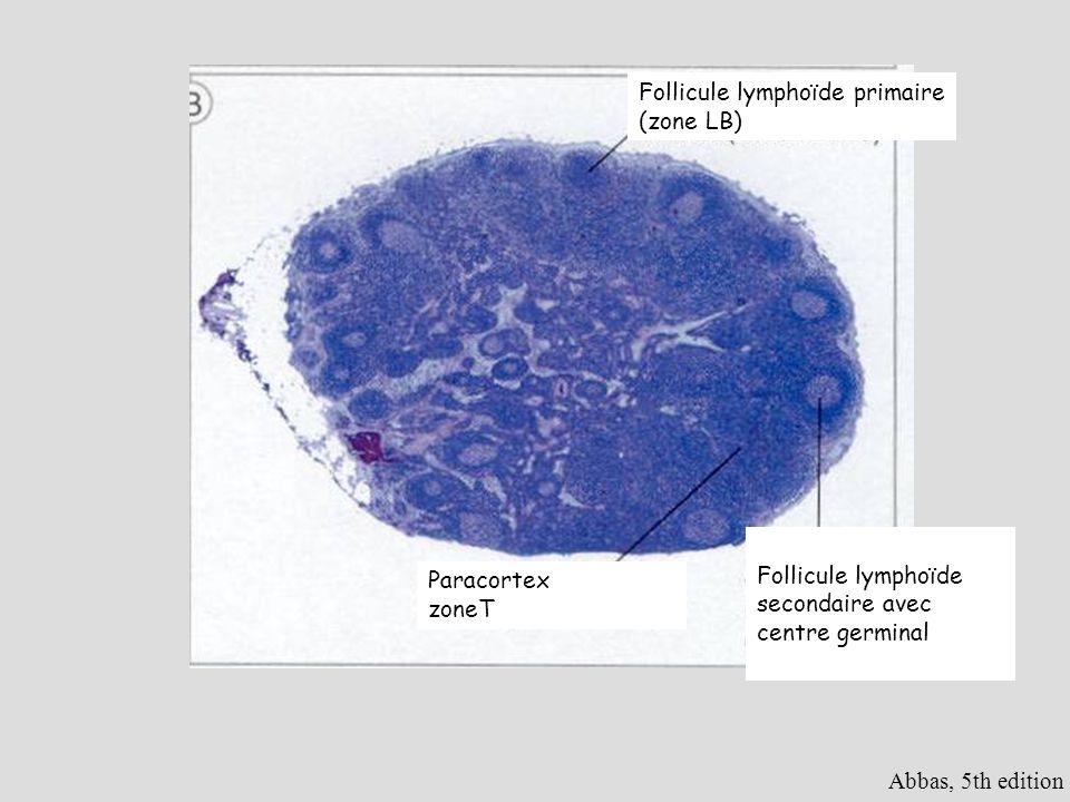 Follicule lymphoïde primaire (zone LB)