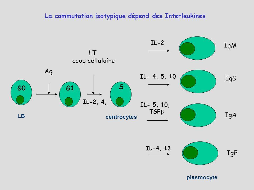 La commutation isotypique dépend des Interleukines