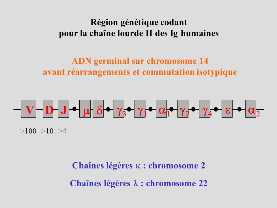 V D J m d g3 g1 a1 g2 g4 e a2 Région génétique codant