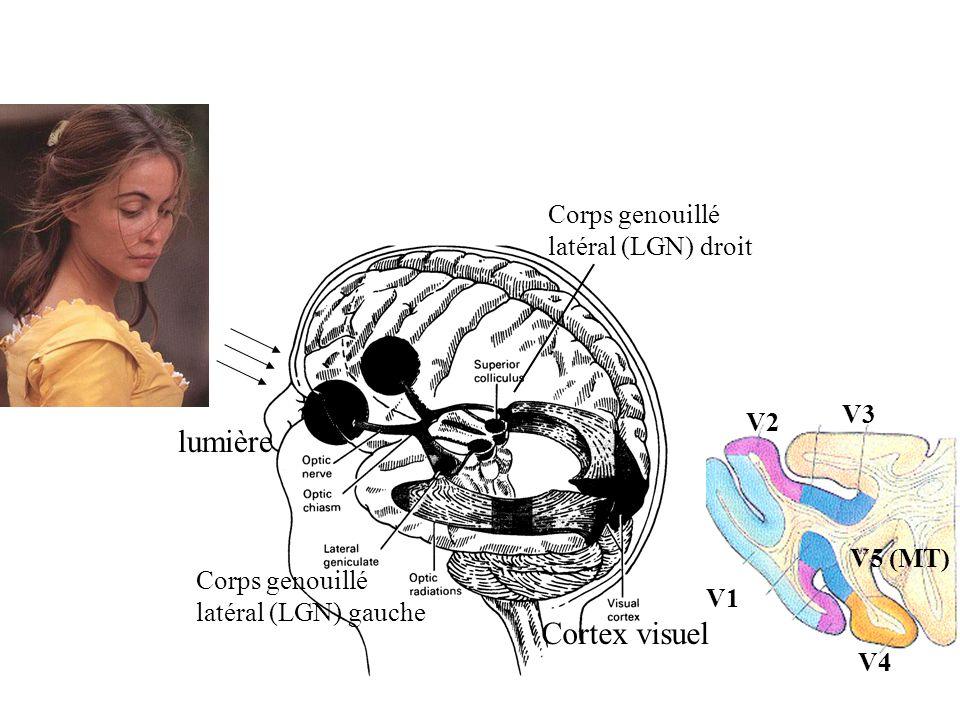 lumière Cortex visuel Corps genouillé latéral (LGN) droit V3 V2