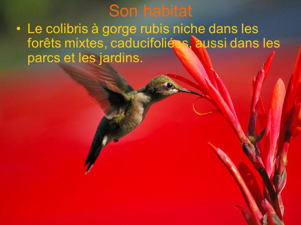 Son habitat Le colibris à gorge rubis niche dans les forêts mixtes, caducifoliées, aussi dans les parcs et les jardins.