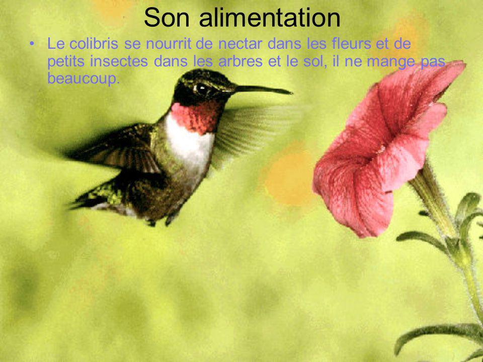 Son alimentation Le colibris se nourrit de nectar dans les fleurs et de petits insectes dans les arbres et le sol, il ne mange pas beaucoup.