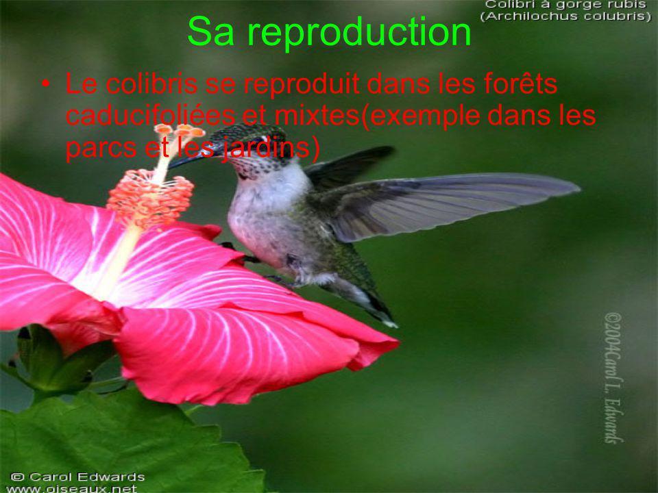 Sa reproduction Le colibris se reproduit dans les forêts caducifoliées et mixtes(exemple dans les parcs et les jardins)