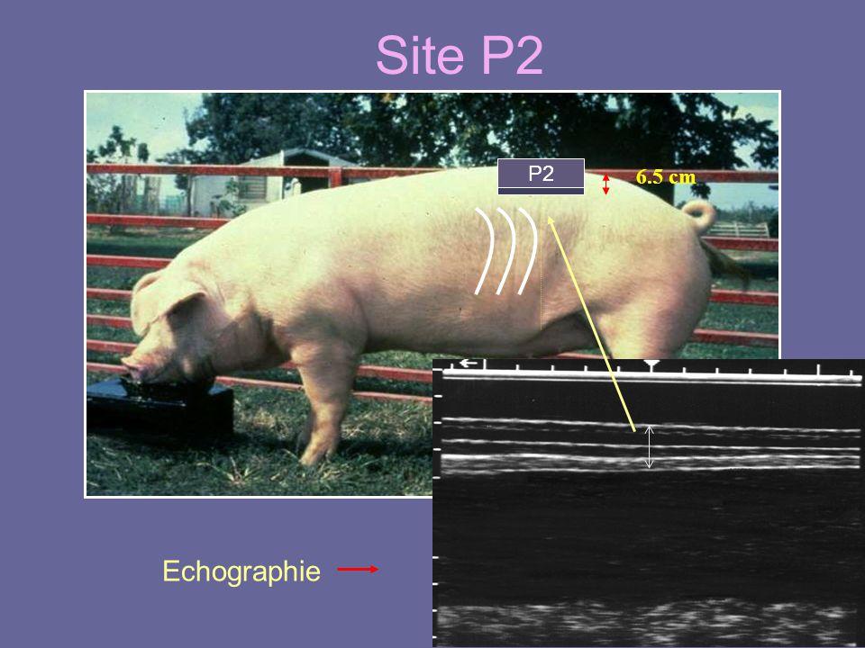 Site P2 P2 6.5 cm Echographie