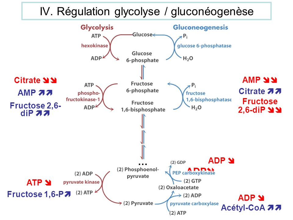IV. Régulation glycolyse / gluconéogenèse