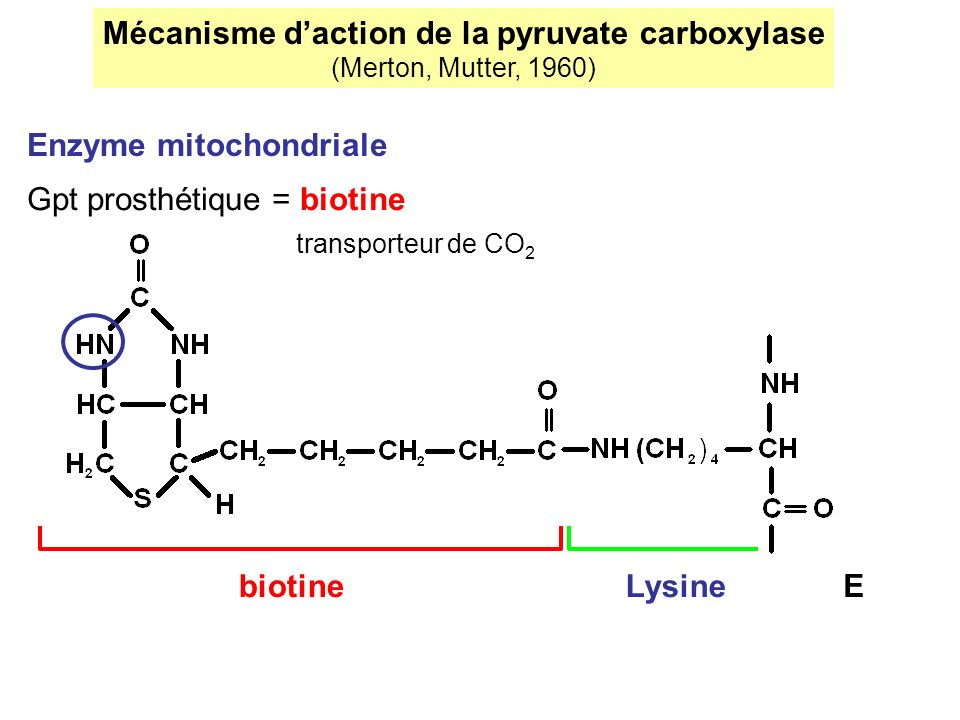 Mécanisme d'action de la pyruvate carboxylase