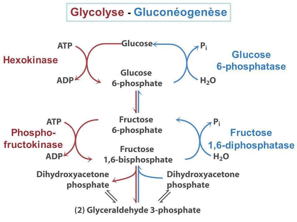 Glycolyse - Gluconéogenèse Phospho-fructokinase