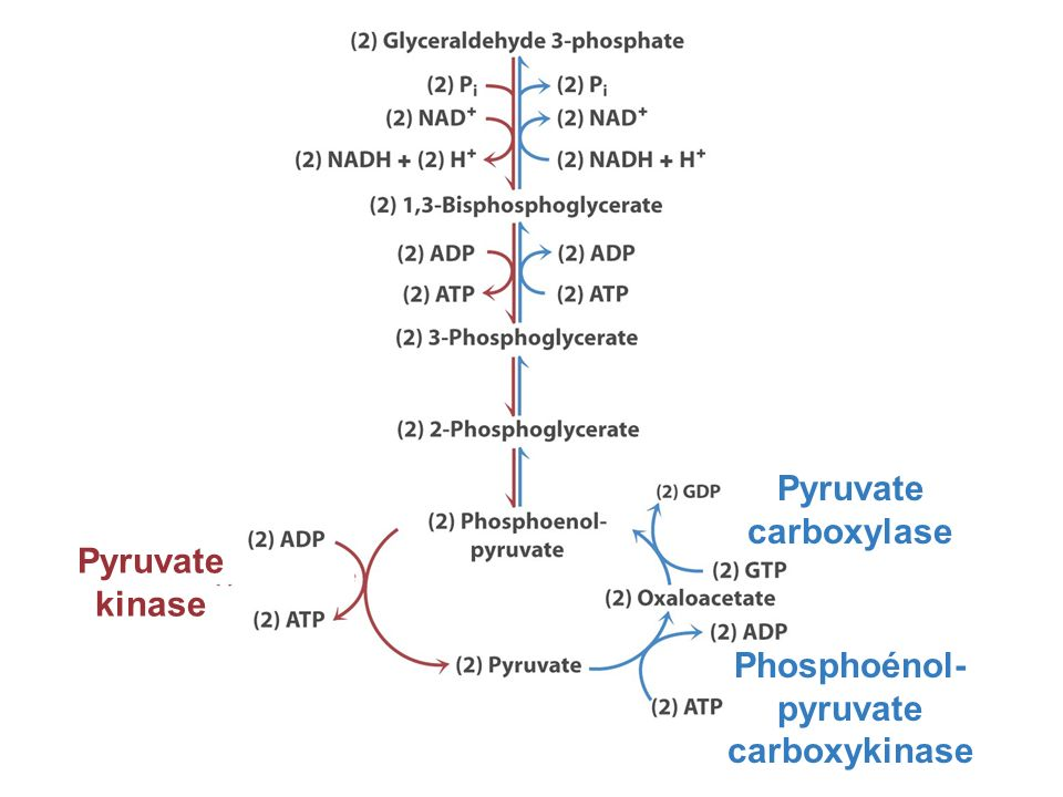 Phosphoénol-pyruvate carboxykinase