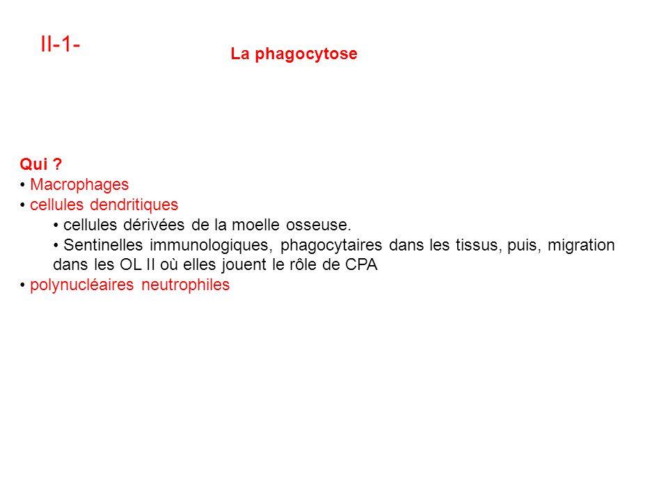 II-1- La phagocytose Qui Macrophages cellules dendritiques