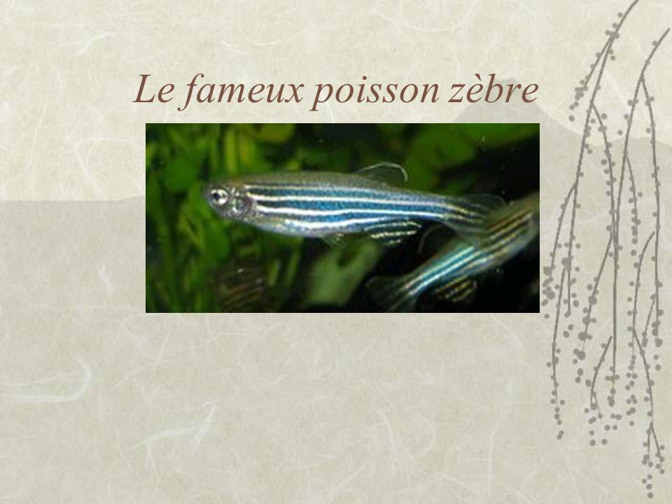 Le fameux poisson zèbre