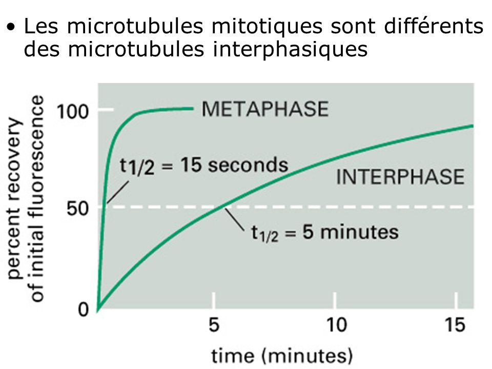 Mardi 29 janvier 2008 Les microtubules mitotiques sont différents des microtubules interphasiques. Fig 18-11.
