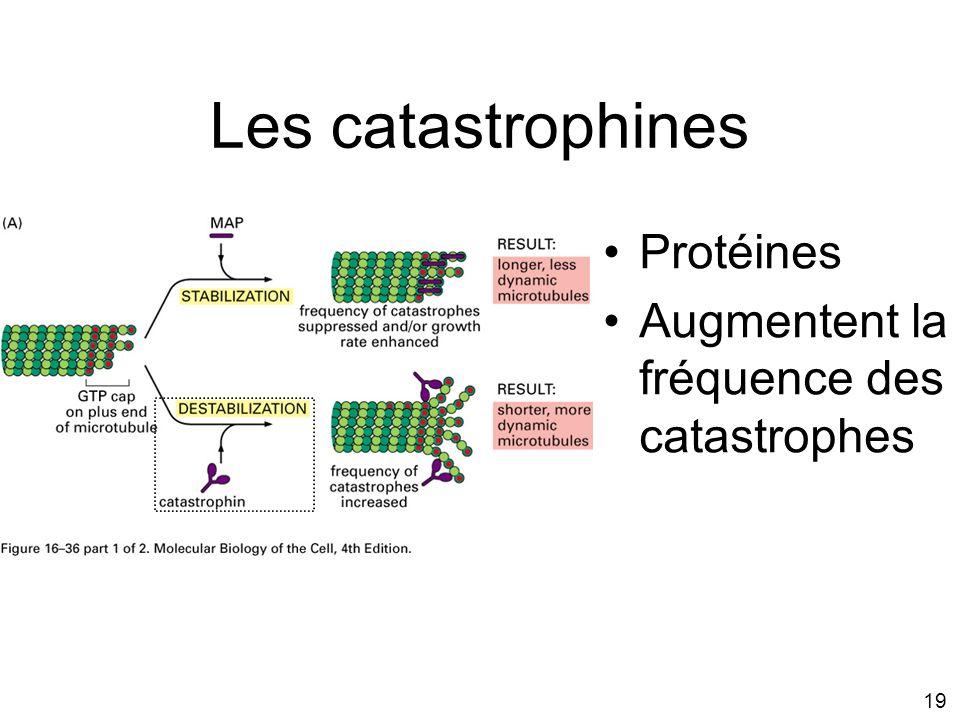 Les catastrophines Protéines Augmentent la fréquence des catastrophes