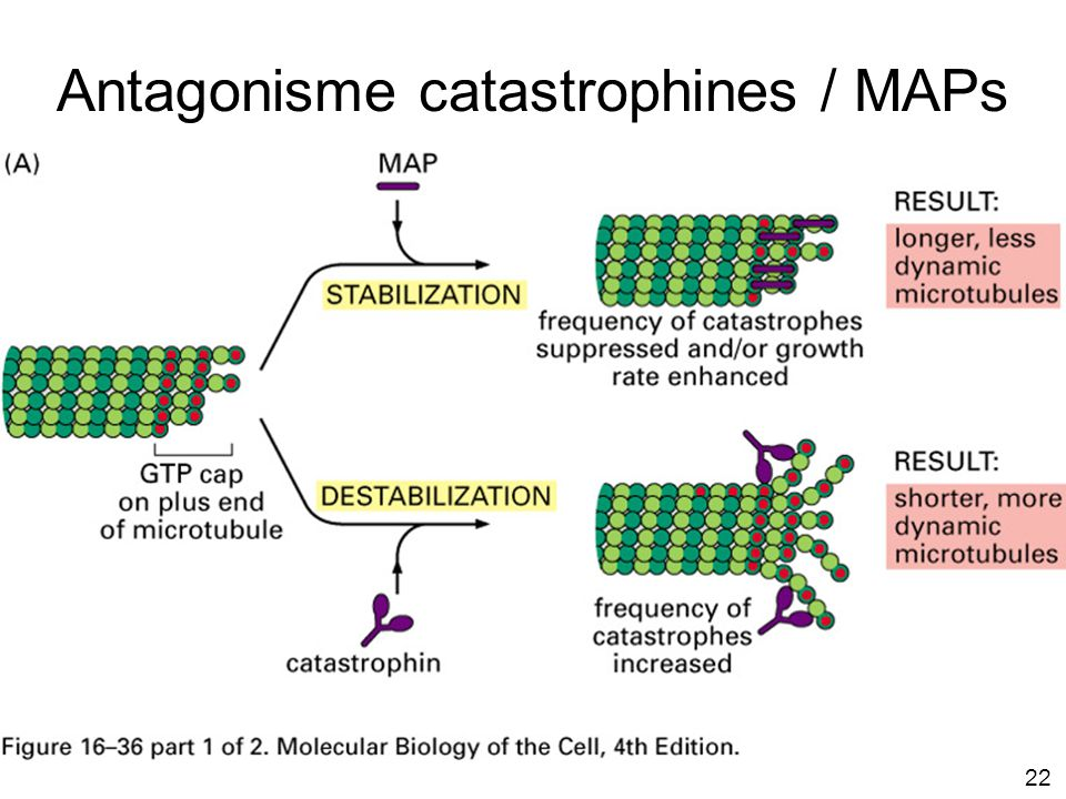 Antagonisme catastrophines / MAPs