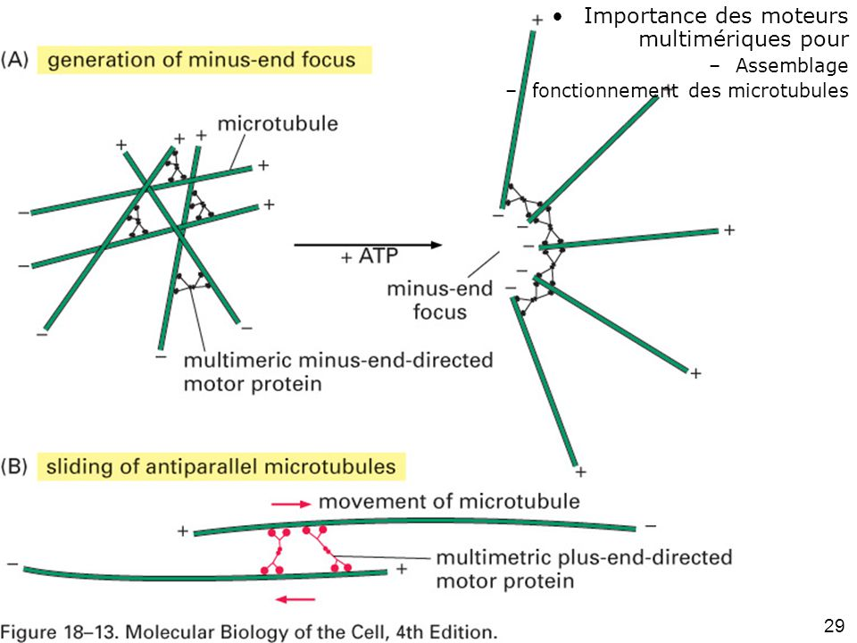 Fig 18-13 #2p1039 Importance des moteurs multimériques pour Assemblage