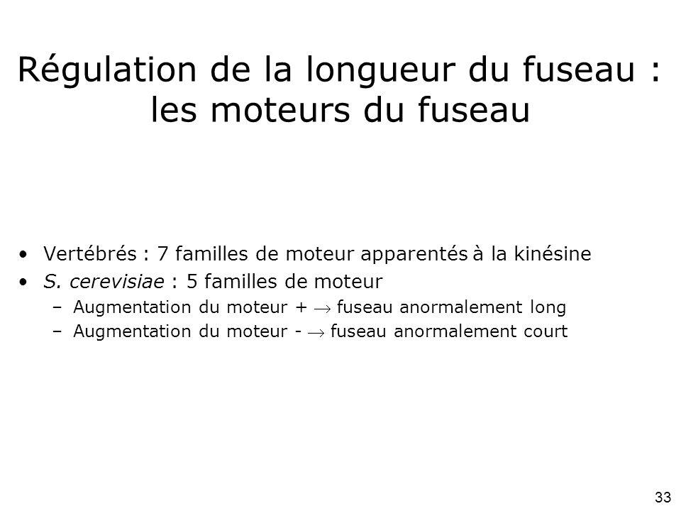 Régulation de la longueur du fuseau : les moteurs du fuseau