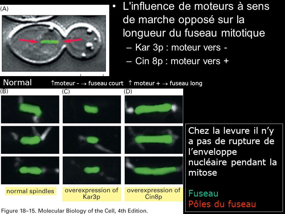 L influence de moteurs à sens de marche opposé sur la longueur du fuseau mitotique