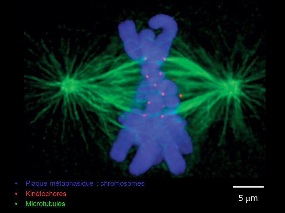 Fig 18-18 #3p1042 5 m Plaque métaphasique : chromosomes Kinétochores