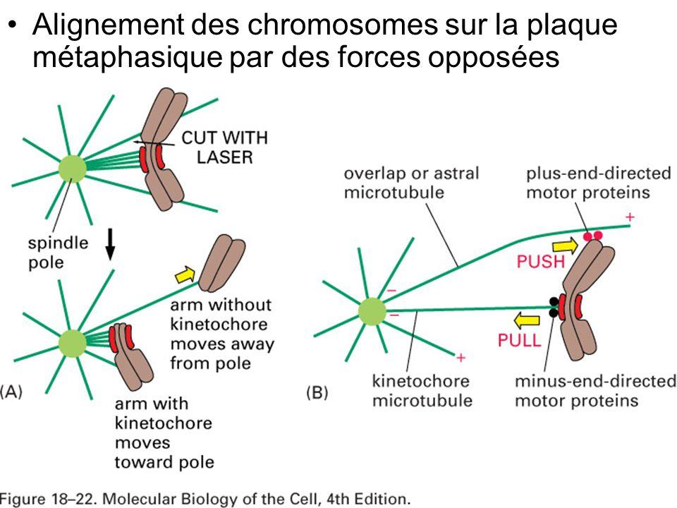Mardi 29 janvier 2008 Alignement des chromosomes sur la plaque métaphasique par des forces opposées.