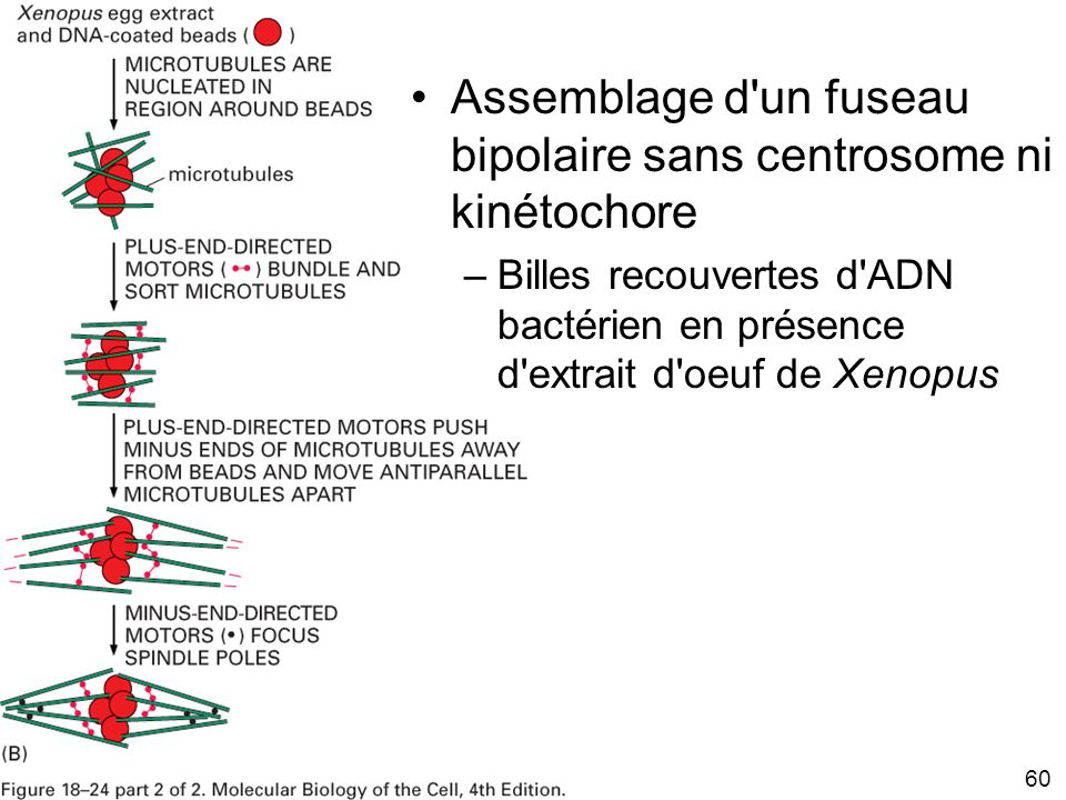 Mardi 29 janvier 2008 Assemblage d un fuseau bipolaire sans centrosome ni kinétochore.