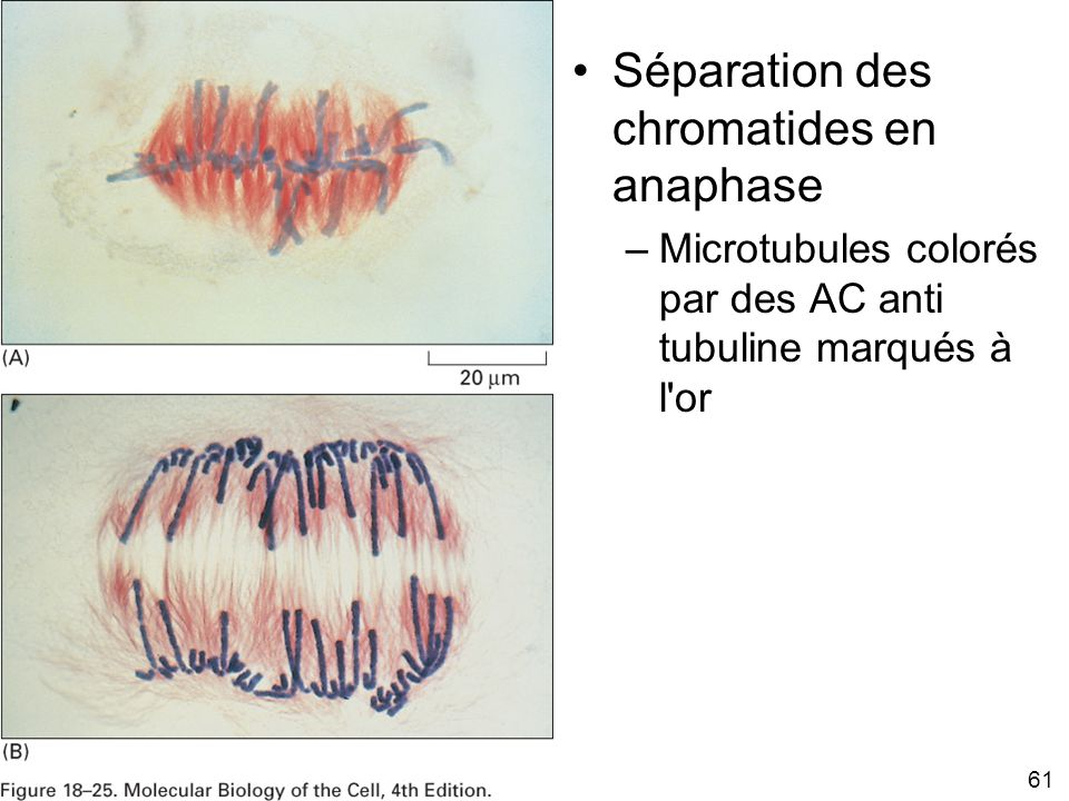 Fig 18-25 Séparation des chromatides en anaphase