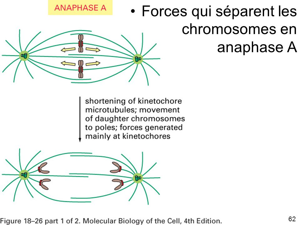 Fig 18-25A Forces qui séparent les chromosomes en anaphase A