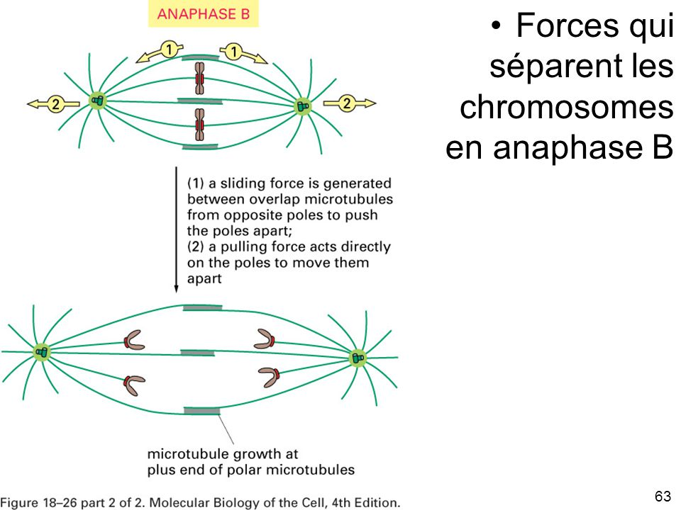 Fig 18-25B Forces qui séparent les chromosomes en anaphase B