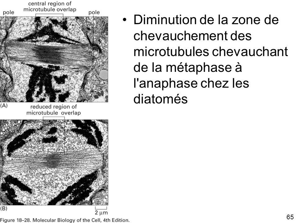 Mardi 29 janvier 2008 Diminution de la zone de chevauchement des microtubules chevauchant de la métaphase à l anaphase chez les diatomés.