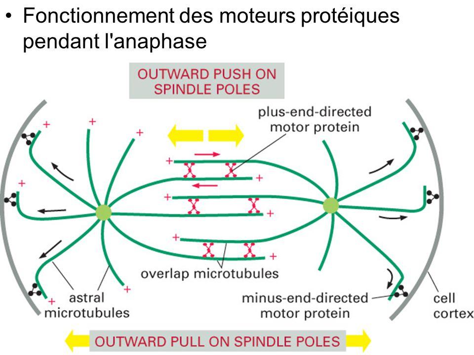 Fig 18-29 Fonctionnement des moteurs protéiques pendant l anaphase