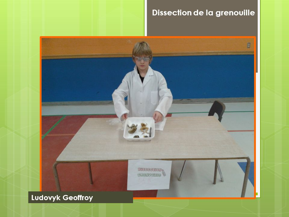 Dissection de la grenouille