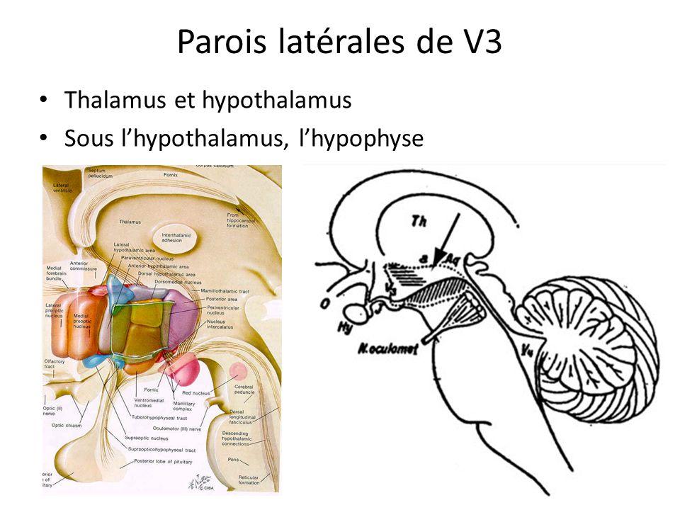 Parois latérales de V3 Thalamus et hypothalamus