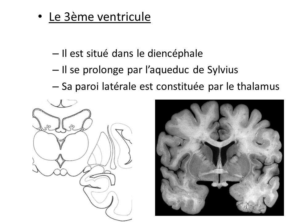 Le 3ème ventricule Il est situé dans le diencéphale