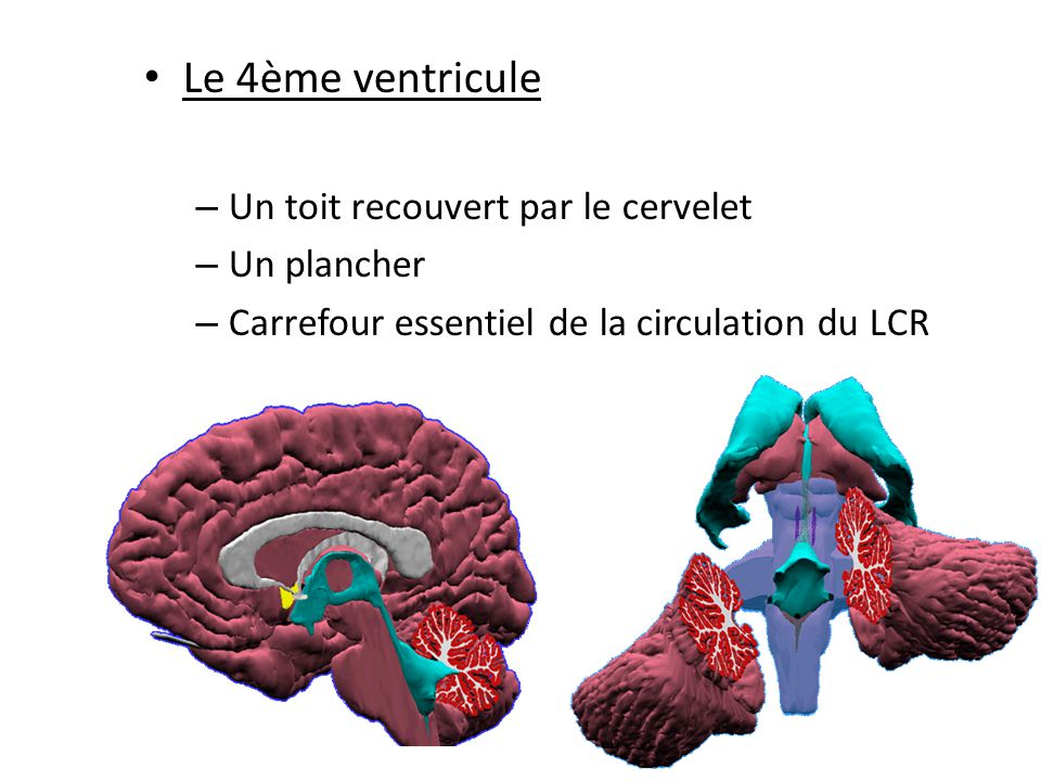 Le 4ème ventricule Un toit recouvert par le cervelet Un plancher