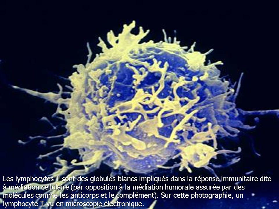 Les lymphocytes T sont des globules blancs impliqués dans la réponse immunitaire dite à médiation cellulaire (par opposition à la médiation humorale assurée par des molécules comme les anticorps et le complément).