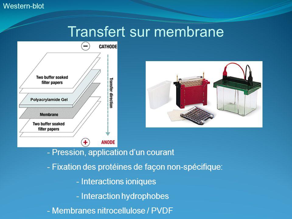 Transfert sur membrane