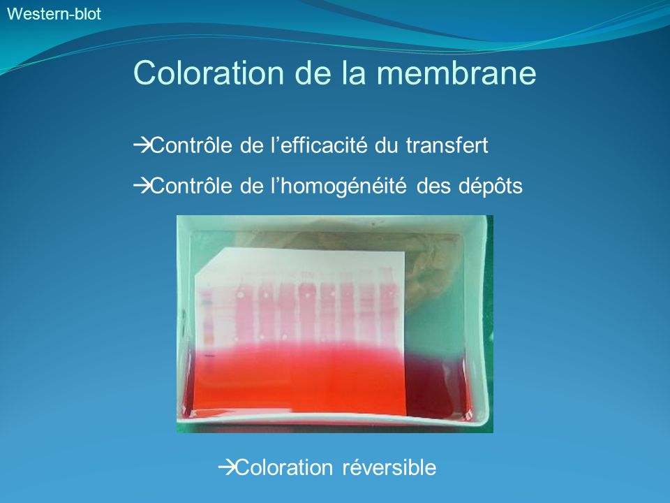 Coloration de la membrane