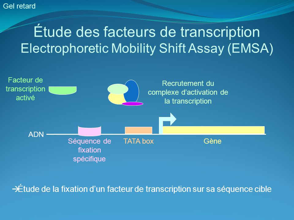 Étude des facteurs de transcription