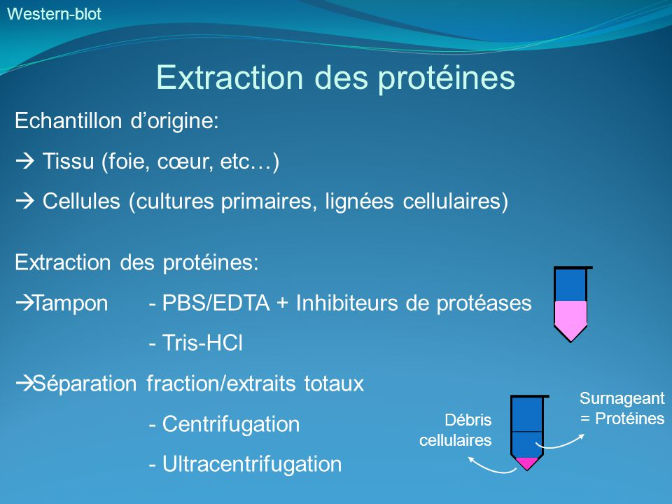 Extraction des protéines