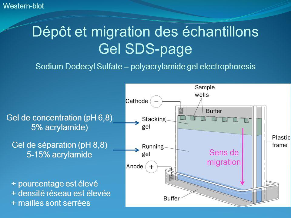 Dépôt et migration des échantillons Gel SDS-page