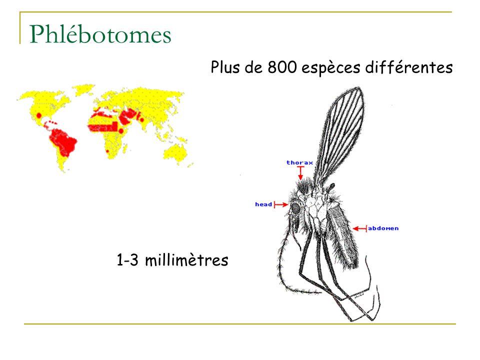 Phlébotomes Plus de 800 espèces différentes 1-3 millimètres