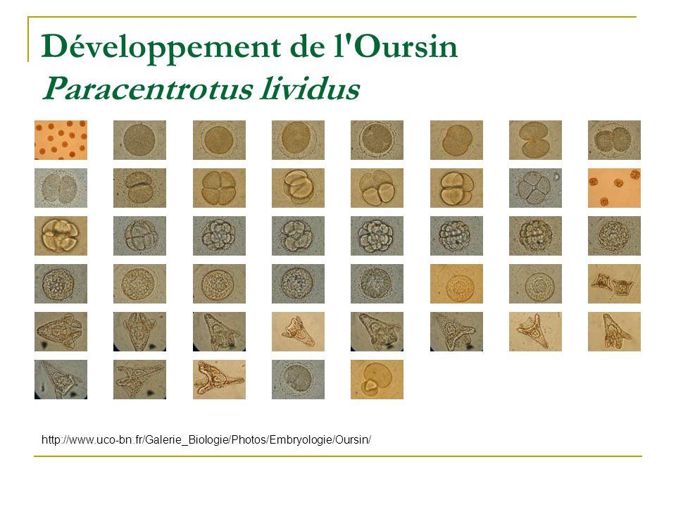 Développement de l Oursin Paracentrotus lividus