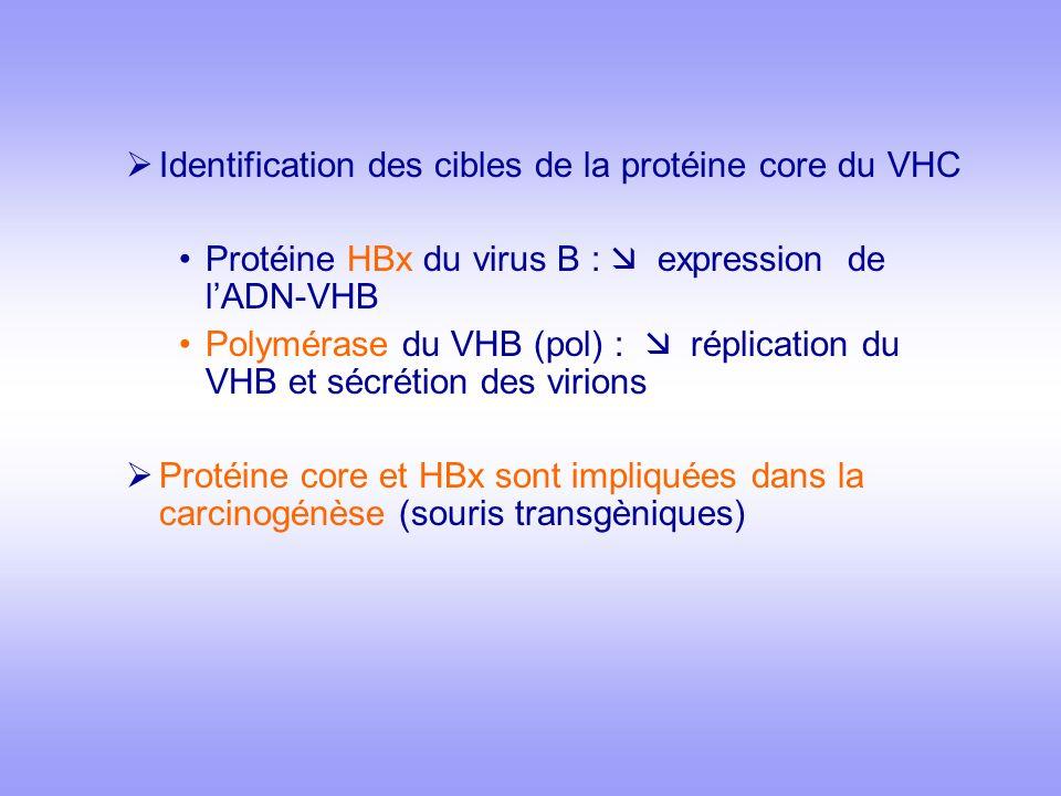 Identification des cibles de la protéine core du VHC