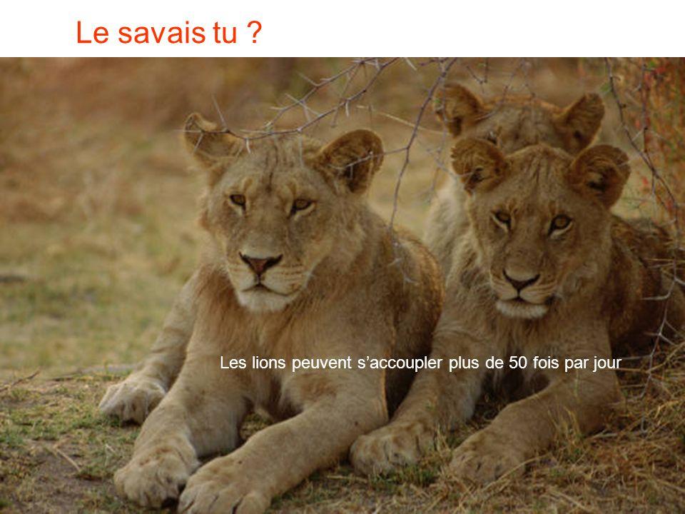 Le savais tu Les lions peuvent s'accoupler plus de 50 fois par jour