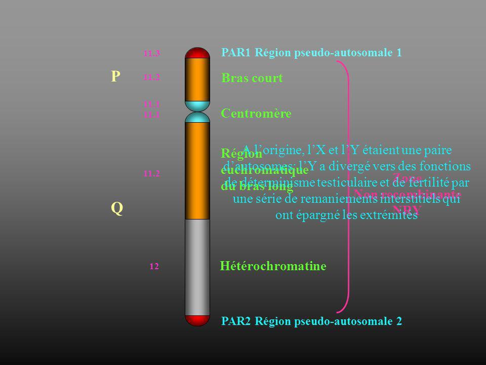P Q Bras court Centromère A l'origine, l'X et l'Y étaient une paire