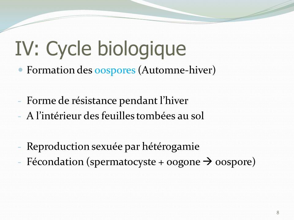 IV: Cycle biologique Formation des oospores (Automne-hiver)